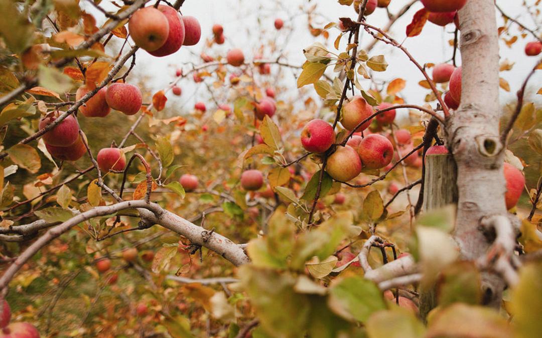 apple thanksgiving